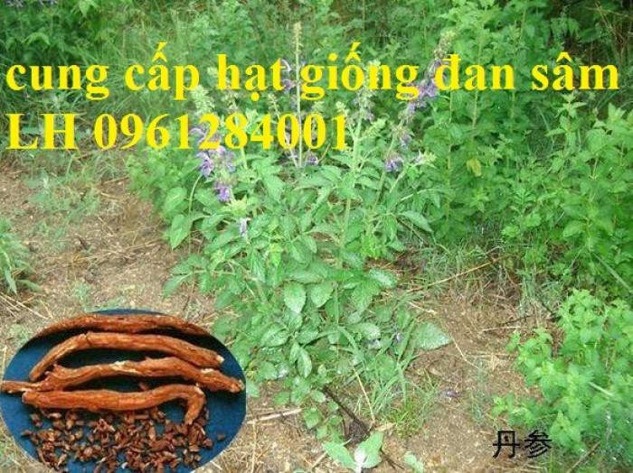 Cung cấp hạt giống đan sâm, hạt giống dược liệu, loại 1 cam kết chất lượng6