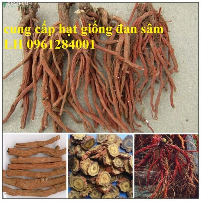 Cung cấp hạt giống đan sâm, hạt giống dược liệu, loại 1 cam kết chất lượng4