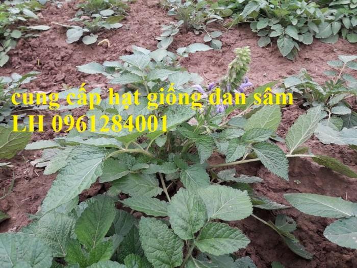Cung cấp hạt giống đan sâm, hạt giống dược liệu, loại 1 cam kết chất lượng5