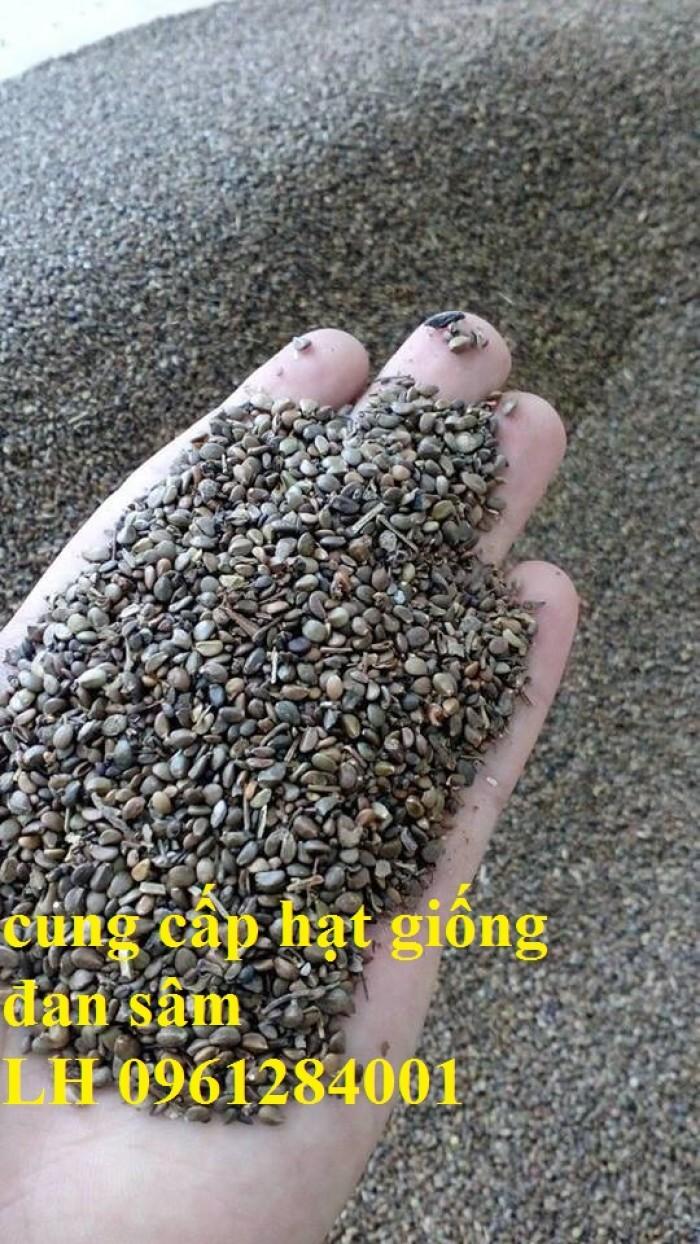Cung cấp hạt giống đan sâm, hạt giống dược liệu, loại 1 cam kết chất lượng1