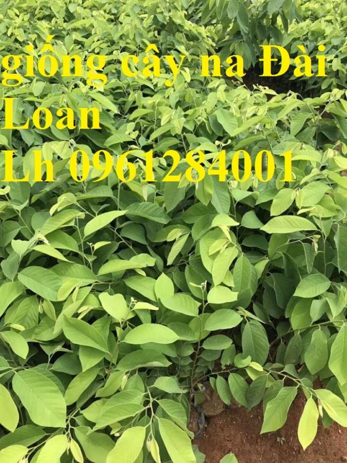 Cây giống na bở Đài Loan, cây na bở, chuẩn giống, số lượng lớn, giao cây toàn quốc13
