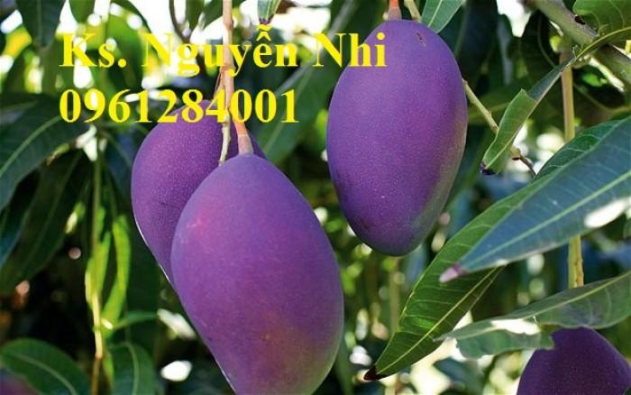 Cây giống xoài tím chuẩn giống, kỹ thuật trồng cây xoài tím7