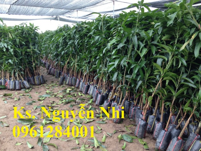 Cây giống xoài tím chuẩn giống, kỹ thuật trồng cây xoài tím8