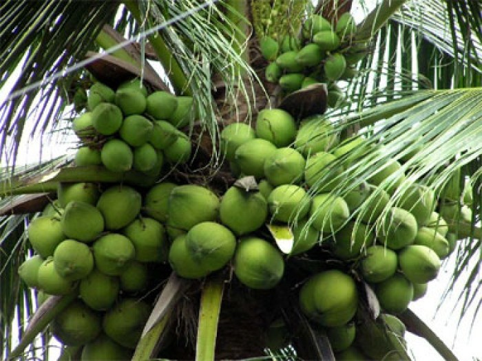 Cung cấp dừa tươi10
