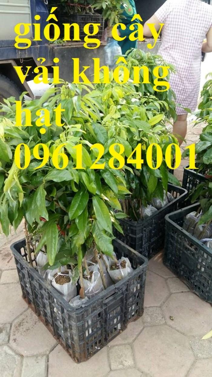 Địa chỉ cung cấp cây giống tốt, khỏe mạnh, giống vải không hạt14