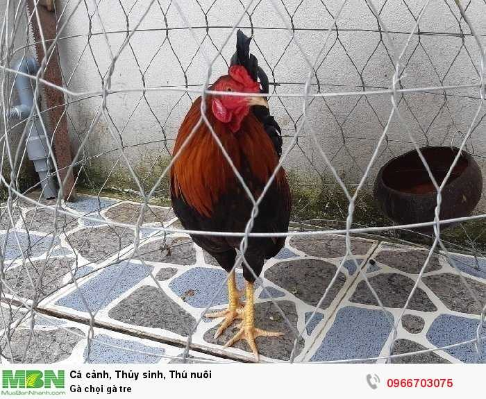Gà chọi gà tre1