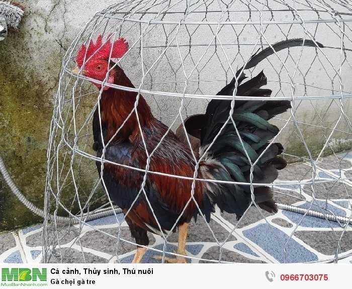 Gà chọi gà tre2
