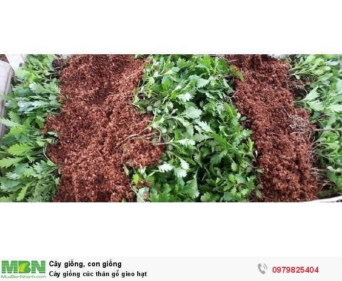Cây giống cúc thân gỗ gieo hạt1