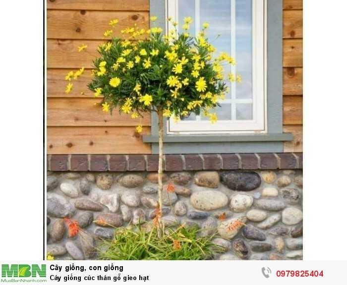 Cây giống cúc thân gỗ gieo hạt2