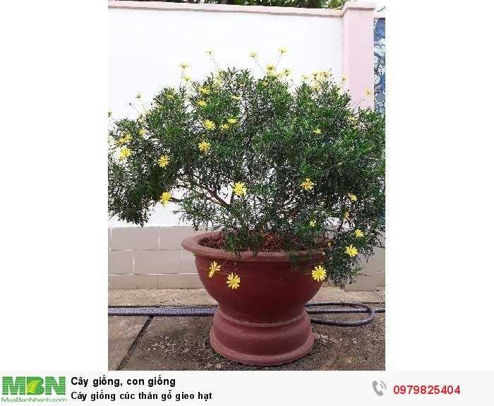 Cây giống cúc thân gỗ gieo hạt3