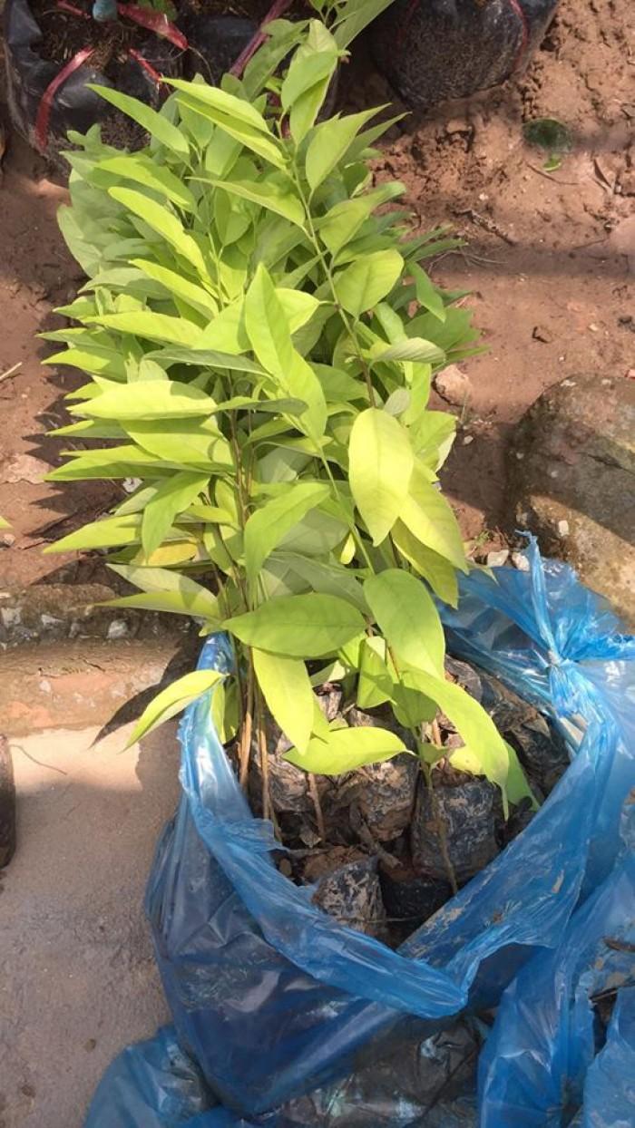 cây giống, con giống na dai 016823257752