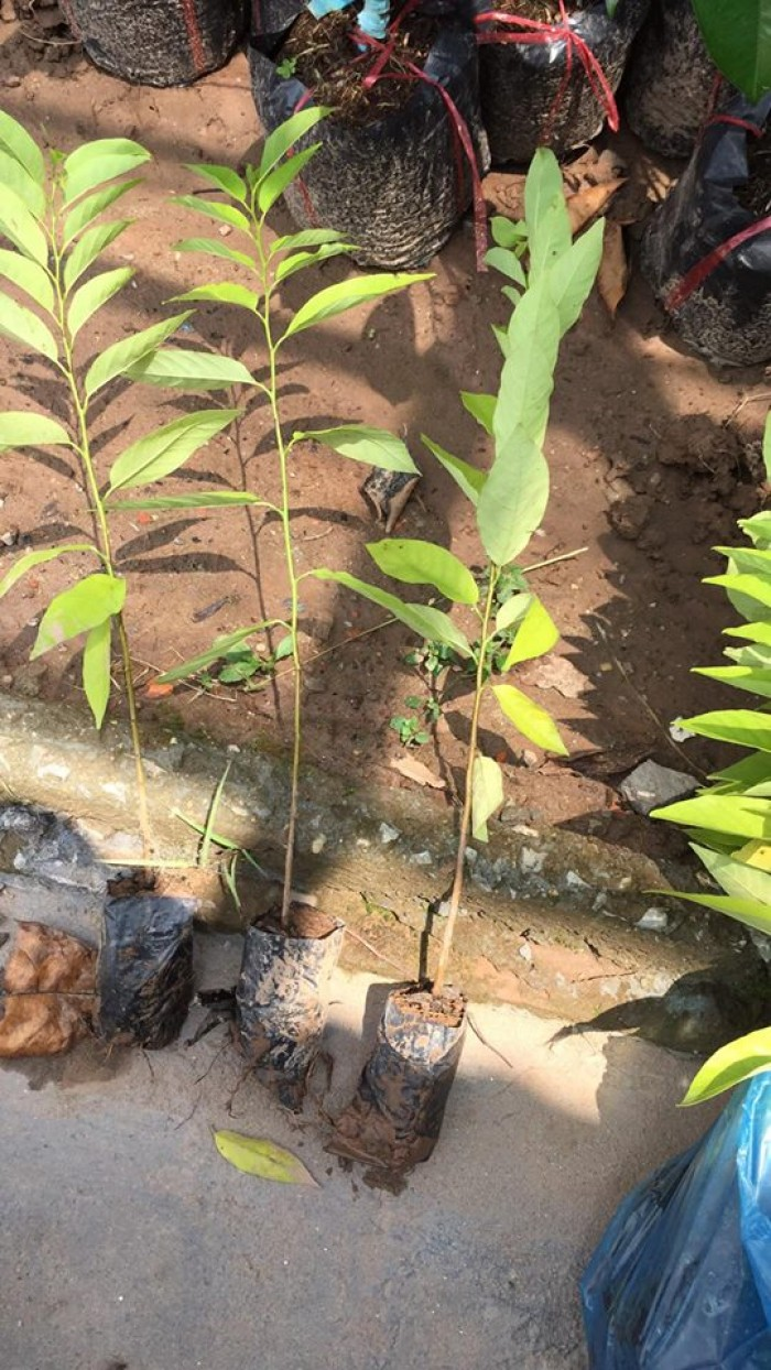 cây giống, con giống na dai 016823257751