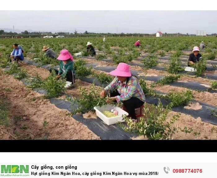 Hạt giống Kim Ngân Hoa, cây giống Kim Ngân Hoa vụ mùa 2018/20190