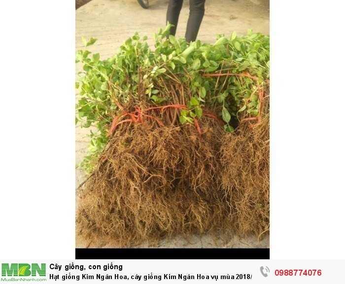 Hạt giống Kim Ngân Hoa, cây giống Kim Ngân Hoa vụ mùa 2018/20192