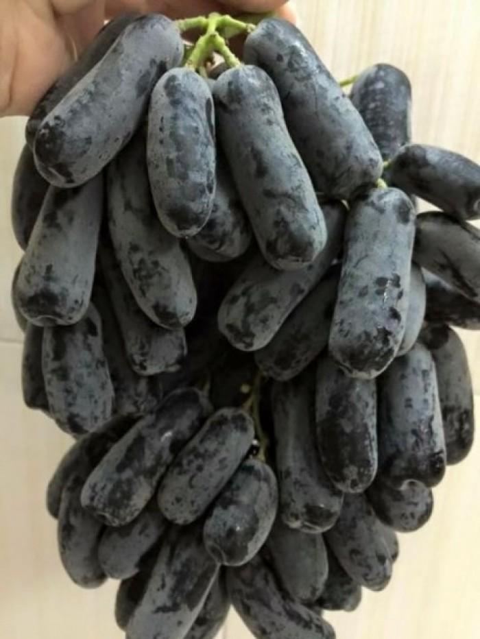 Giống nho trái dài đen úc, giống nho mới trái dài chuẩn giống. cung cấp sỉ.0