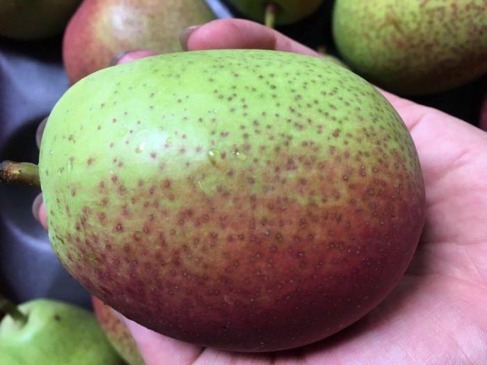 Viện cây giống trung ương, cung cấp giống lê đỏ nam phi, nhập khẩu nguyên cây4