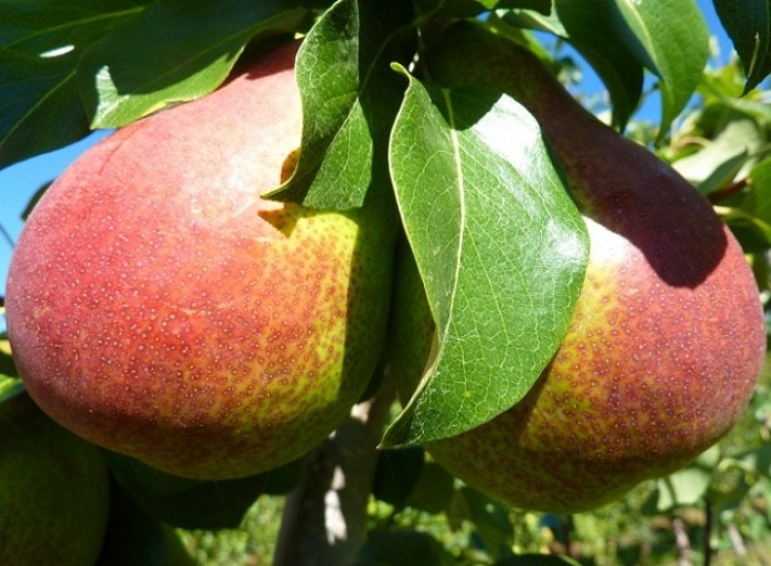 Viện cây giống trung ương, cung cấp giống lê đỏ nam phi, nhập khẩu nguyên cây1
