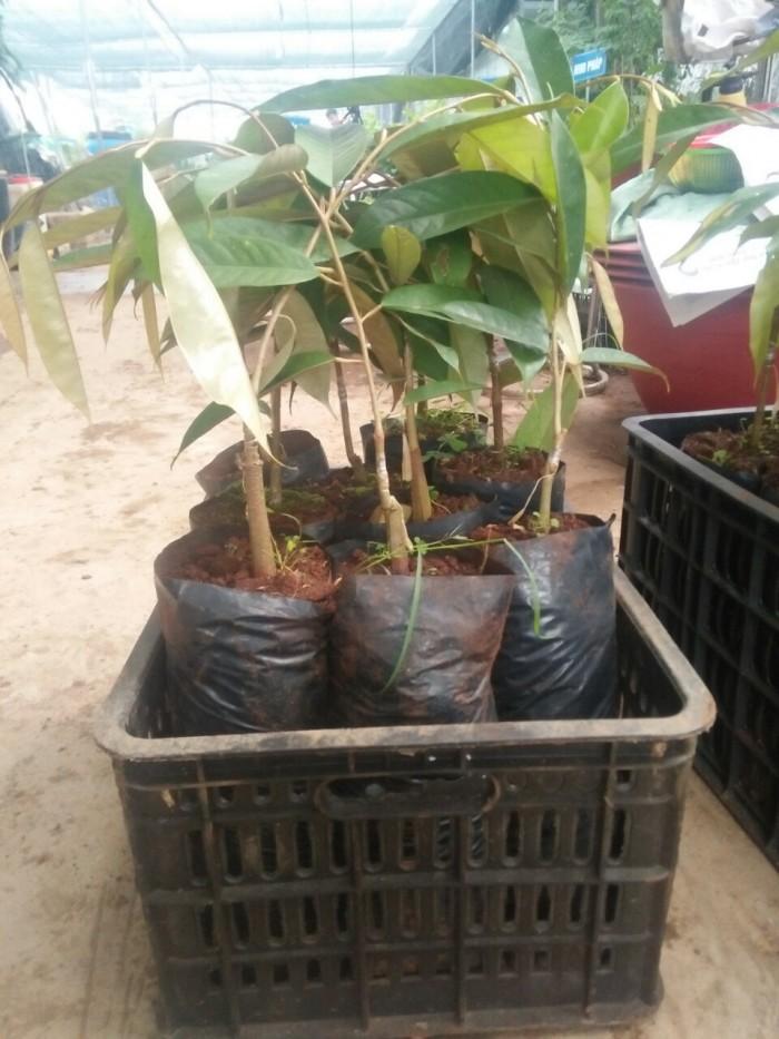[2] Viện cây giống trung ương, giống sầu riêng musaking chuẩn giống nhập khẩu.