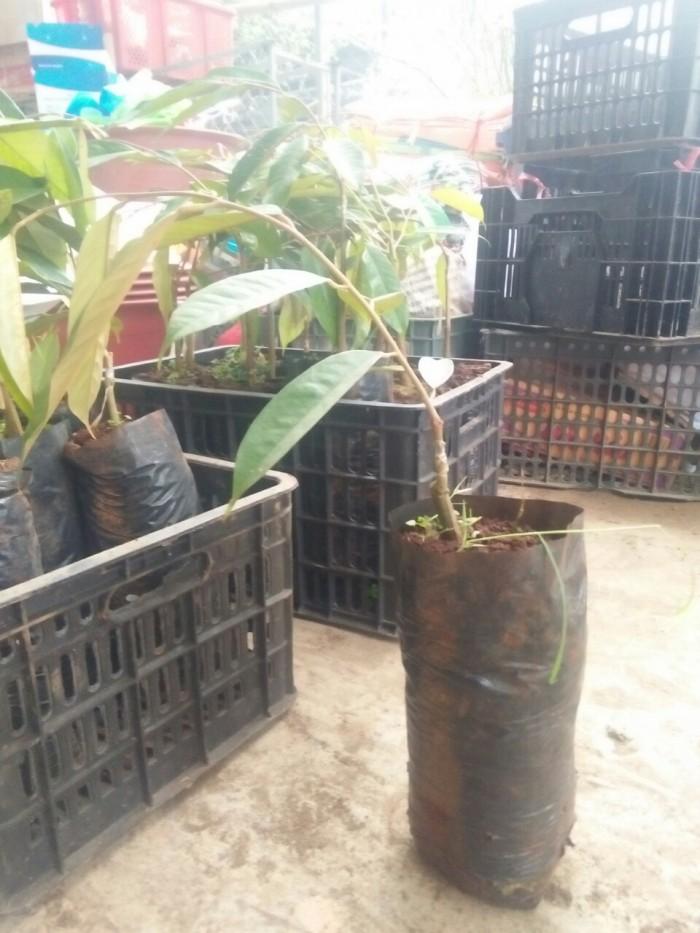 [3] Viện cây giống trung ương, giống sầu riêng musaking chuẩn giống nhập khẩu.