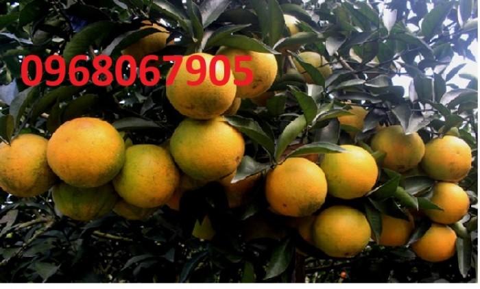 [4] Cung cấp Giống cam vinh chuẩn giống, chuẩn chất lượng. chuẩn giống.