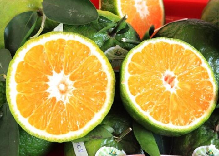 Cung cấp giống cam sành, cam sành hà giang chuẩn giống, cung cấp số lượng lớn.