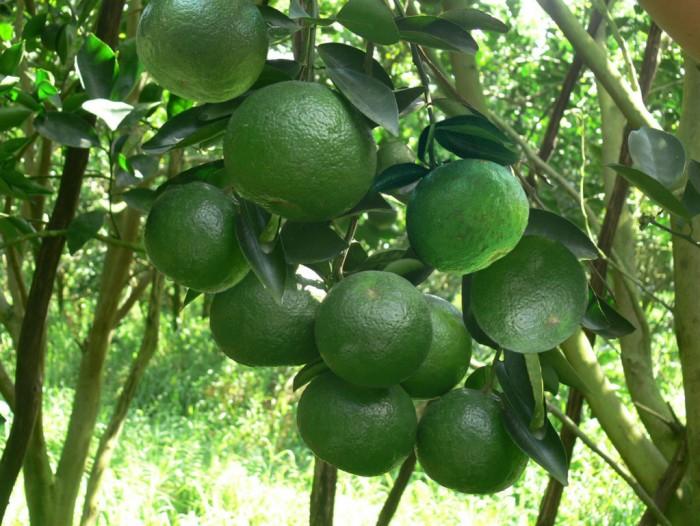 [2] Cung cấp giống cam sành, cam sành hà giang chuẩn giống, cung cấp số lượng lớn.