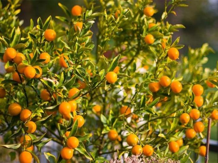Viện cây giống trung ương: giống cây quất ngọt, chuẩn giống quất ngọt5