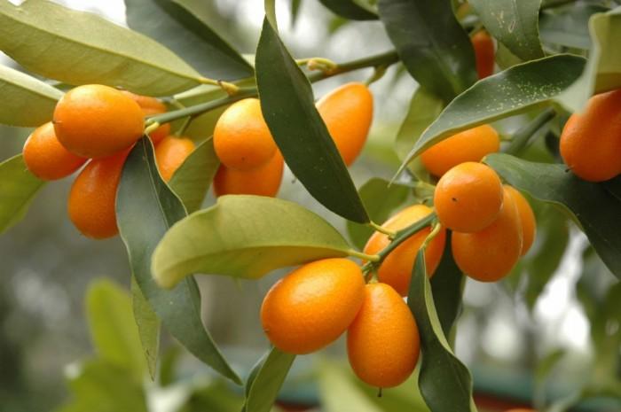 Viện cây giống trung ương: giống cây quất ngọt, chuẩn giống quất ngọt3