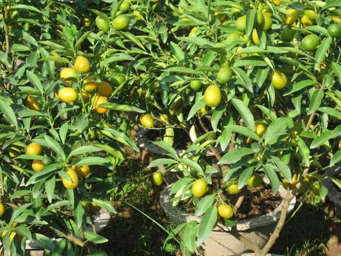 Viện cây giống trung ương: giống cây quất ngọt, chuẩn giống quất ngọt4