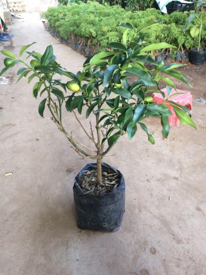 Viện cây giống trung ương: giống cây quất ngọt, chuẩn giống quất ngọt1