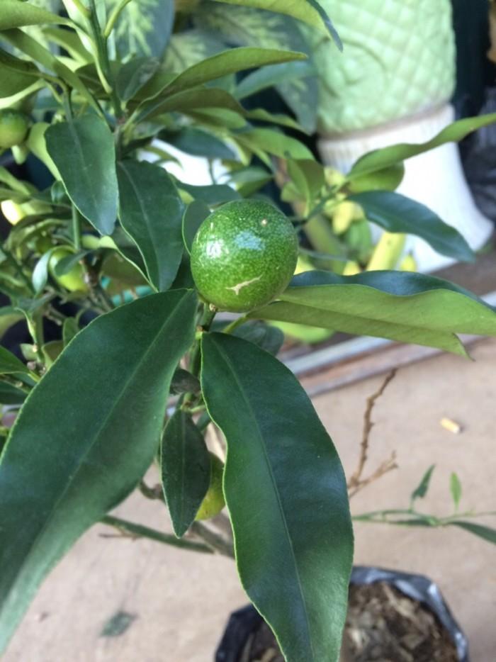 Viện cây giống trung ương: giống cây quất ngọt, chuẩn giống quất ngọt0