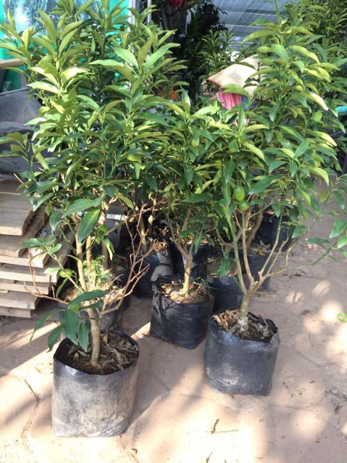Viện cây giống trung ương: giống cây quất ngọt, chuẩn giống quất ngọt2