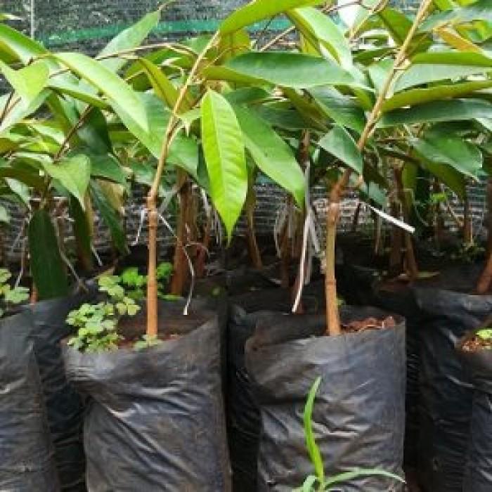 [2] Viện cây giống trung ương, Sầu riêng ruột đỏ, cây nhập khẩu chuẩn giống. chuản chất lượng
