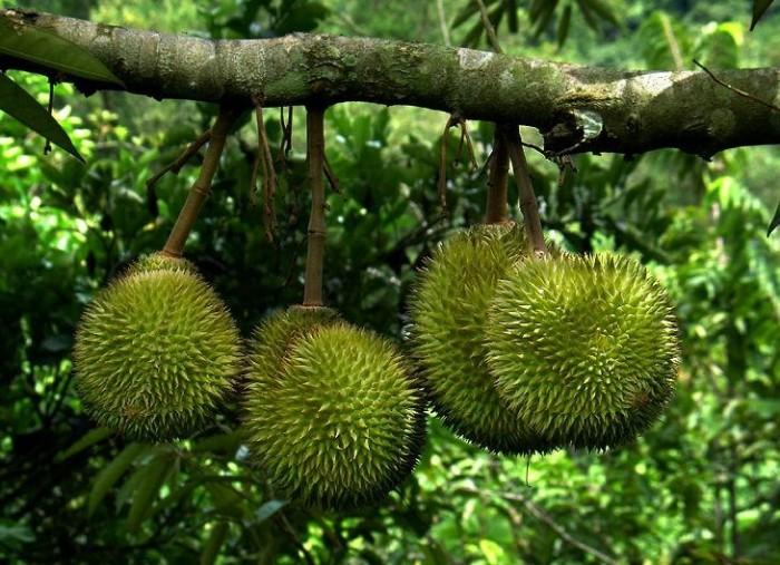 [7] Viện cây giống trung ương, Sầu riêng ruột đỏ, cây nhập khẩu chuẩn giống. chuản chất lượng