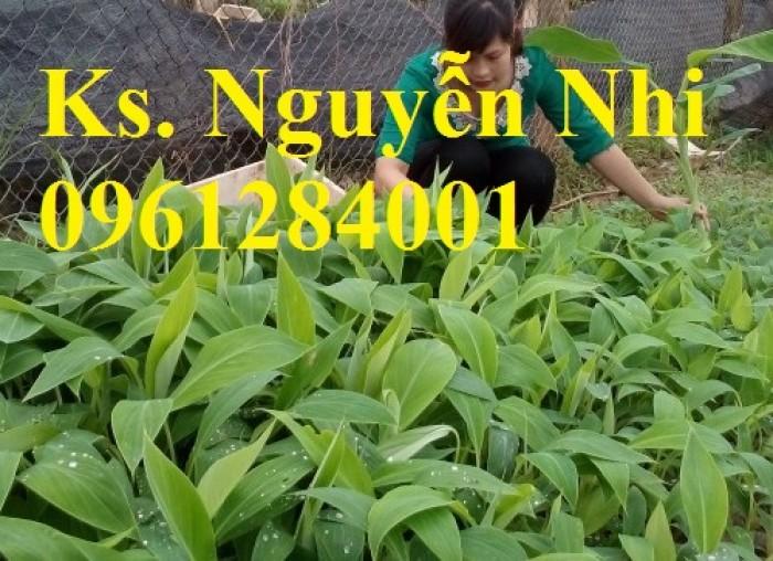 Cây chuối tây Thái Lan nuôi cấy mô, số lượng lớn6