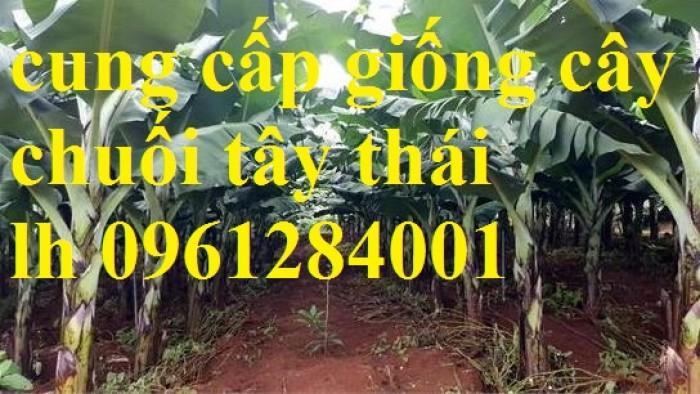 Cây chuối tây Thái Lan nuôi cấy mô, số lượng lớn7