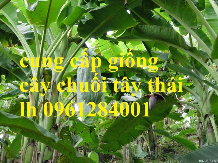 Cây chuối tây Thái Lan nuôi cấy mô, số lượng lớn9