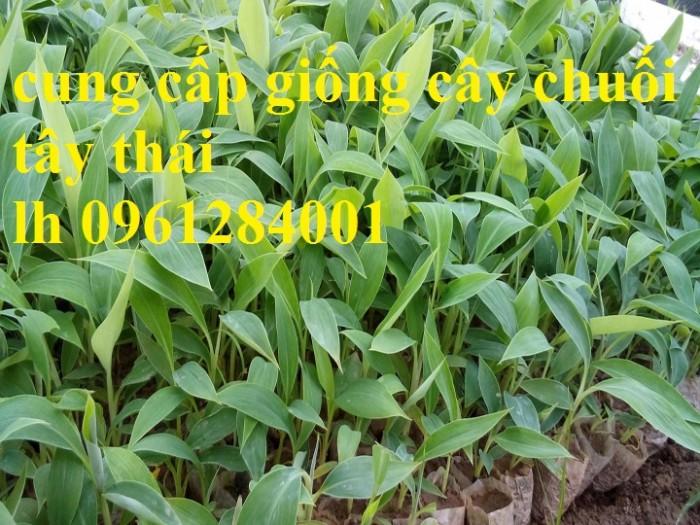 Cây chuối tây Thái Lan nuôi cấy mô, số lượng lớn10