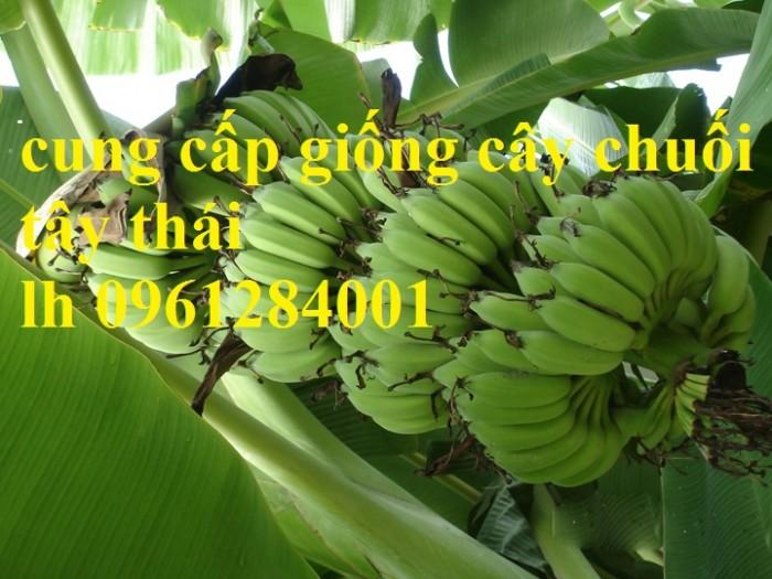 Cây chuối tây Thái Lan nuôi cấy mô, số lượng lớn11