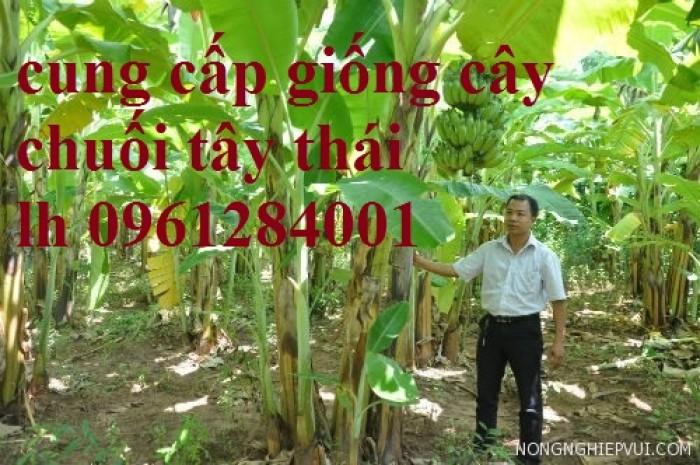 Cây chuối tây Thái Lan nuôi cấy mô, số lượng lớn13