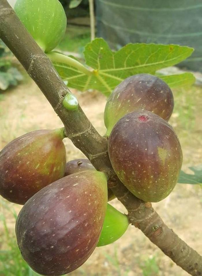 Viện cây giống trung ương, cung cấp giống cây sung mỹ, sung mỹ quả to ăn ngon ngọt13