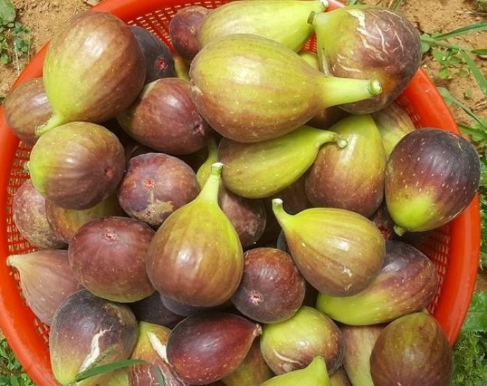 Viện cây giống trung ương, cung cấp giống cây sung mỹ, sung mỹ quả to ăn ngon ngọt12
