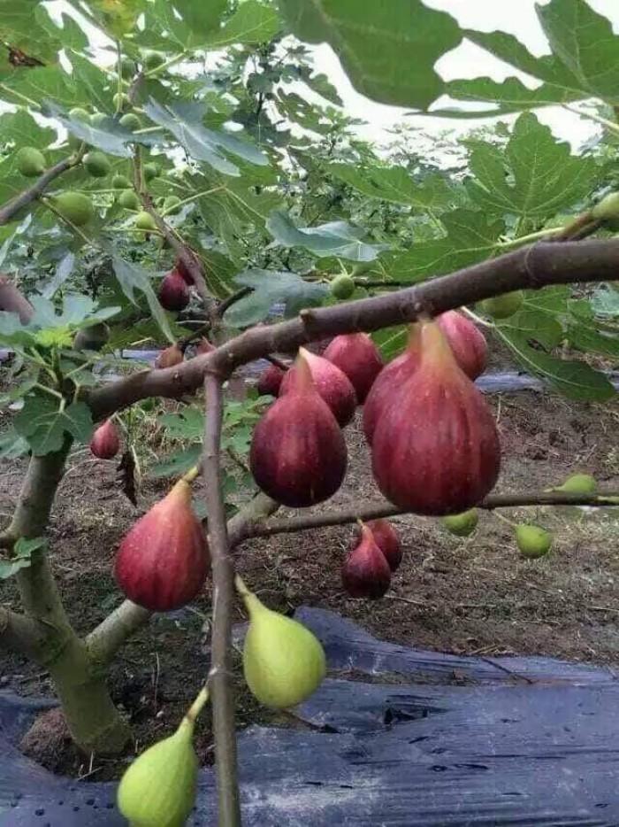 Viện cây giống trung ương, cung cấp giống cây sung mỹ, sung mỹ quả to ăn ngon ngọt10