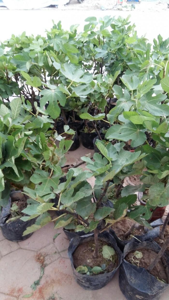 Viện cây giống trung ương, cung cấp giống cây sung mỹ, sung mỹ quả to ăn ngon ngọt1
