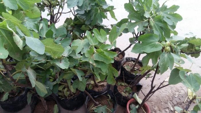 Viện cây giống trung ương, cung cấp giống cây sung mỹ, sung mỹ quả to ăn ngon ngọt11