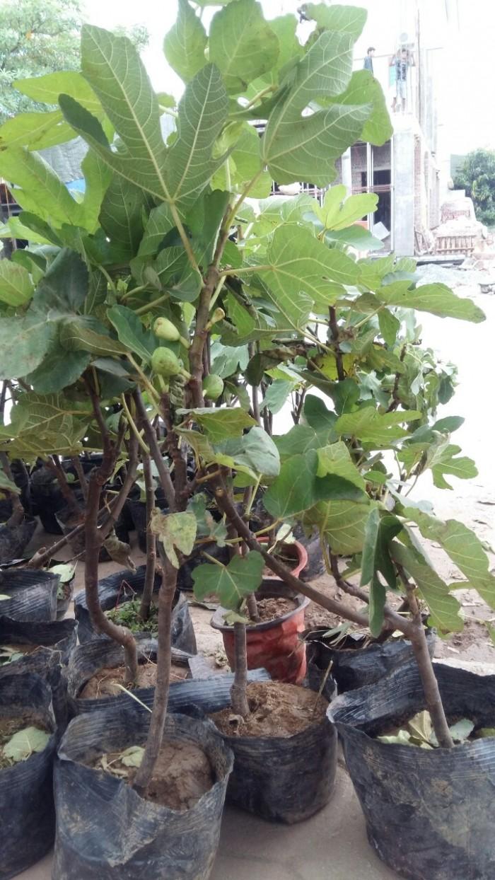 Viện cây giống trung ương, cung cấp giống cây sung mỹ, sung mỹ quả to ăn ngon ngọt3