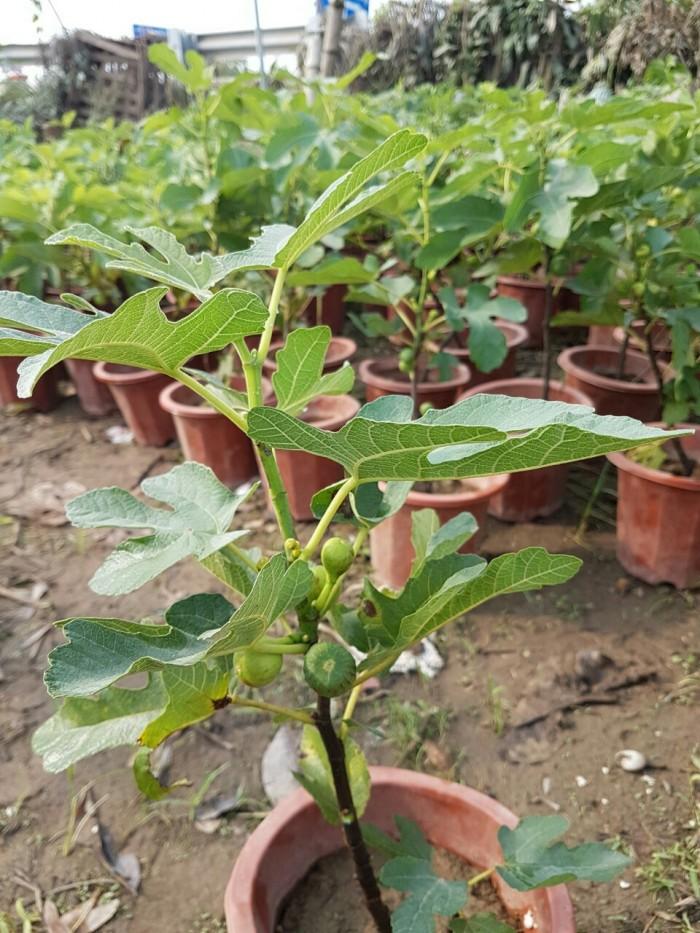 Viện cây giống trung ương, cung cấp giống cây sung mỹ, sung mỹ quả to ăn ngon ngọt8
