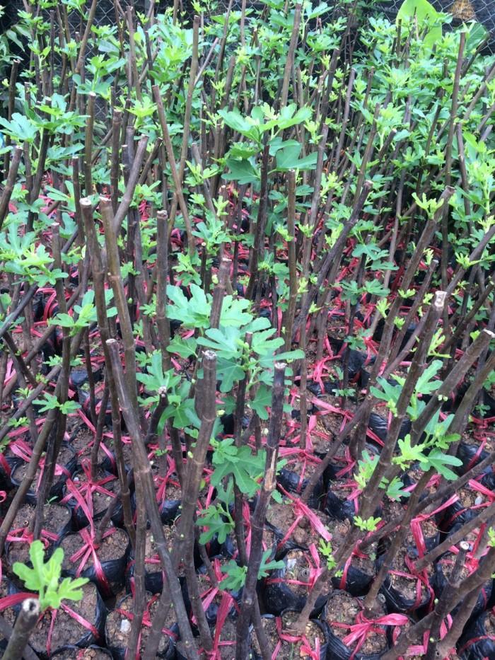 Viện cây giống trung ương, cung cấp giống cây sung mỹ, sung mỹ quả to ăn ngon ngọt5