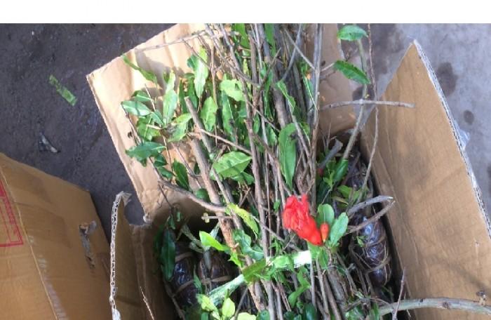 viện cây giống trung ương, giống lựu lùn ấn độ, cung cấp cây giống, cây choai đang có quả.3