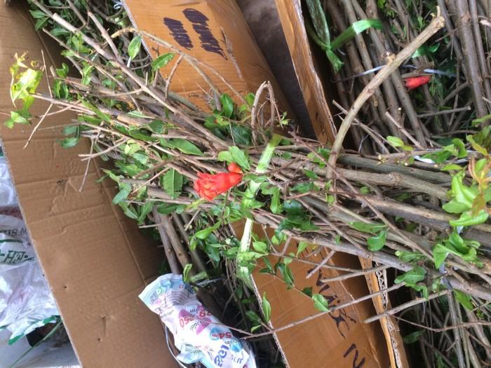 viện cây giống trung ương, giống lựu lùn ấn độ, cung cấp cây giống, cây choai đang có quả.1